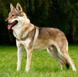 Deckrüde Wolf Hund, Crying Wolf Emir, Wolfsblick