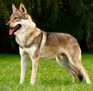 Jugendclubsieger Wolfhund, Jugendweltsieger Wolfhund, CACIB