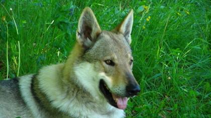 Wolfhund, Wolfshund, Internationale Hundeausstellung Wieselburg