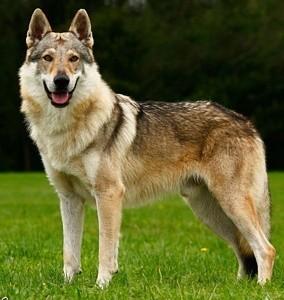 BOB, Foto Wolfhund, CACIB