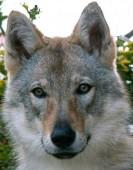Deutsch Schäferhund Wolf, Wolfhund, tschechoslowakisch Wolfhund