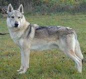Crying Wolf Elthon, TWH Deckrüde, Tschechoslowakisch Wolfhund