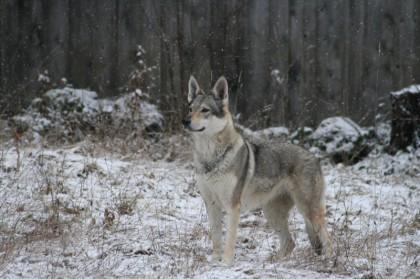 Crying Wolf Uni, Verhalten typisch Wolf, Wolf Hund