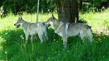 Hund, Wolf, Zucht Hund Wolf