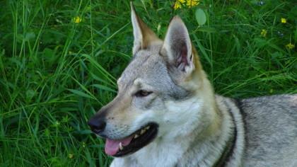 Wolfhund Foto, Molnar, International Rassehund Ausstellung
