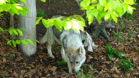 Mountainwolves, Wolfshundezwinger Pinsdorf