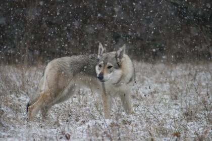 Deutscher Schäferhund Karpaten, Mischung Karpaten, Wolfhund Zucht