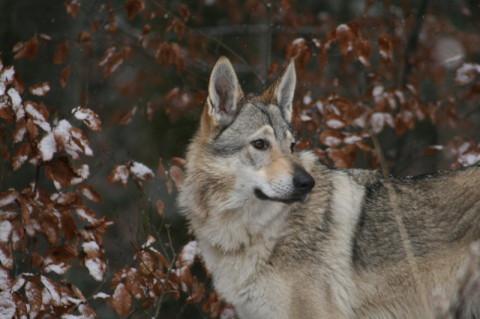 Wolf Charakter, Zucht Hund Wolf, Wolf Scheu Intelligenz